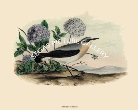 Fine art Print of the Northern Wheatear or American Stone Chat by John Cassin (1856)